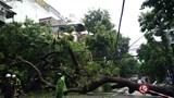 Phân luồng giao thông trên phố Nguyễn Hữu Huân do cây xà cừ đổ ngang đường