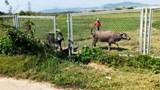 Rào chắn cao tốc Đà Nẵng - Quảng Ngãi bị phá để chăn thả trâu bò