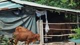 Lô đất bị lãng quên thành trang trại bò giữa lòng Hà Nội