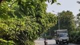 Hà Nội: Đường Huỳnh Tấn Phát nhiều cây xanh rủ xuống lòng đường gây mất an toàn giao thông