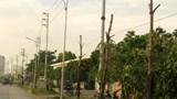 Đường giao thông xã Lại Yên, huyện Hoài Đức: Cây chết khô do trồng vội