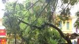 Hải Phòng: Cành cây phượng gãy đổ, đè bẹp ô tô con