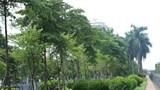 Hà Nội: Xén dải phân cách trục đường Liễu Giai – Văn Cao, cây xanh được đánh chuyển thế nào?    