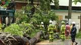 Cảnh giác cây đổ mùa mưa bão